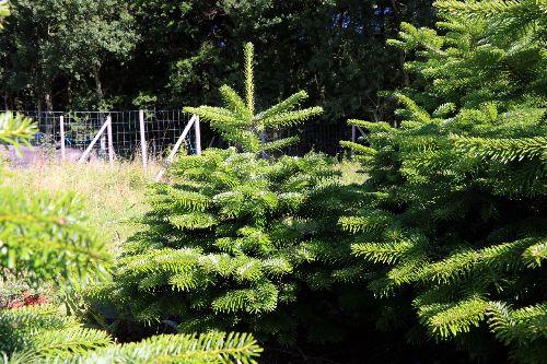 Kerstbomen Groothandel België