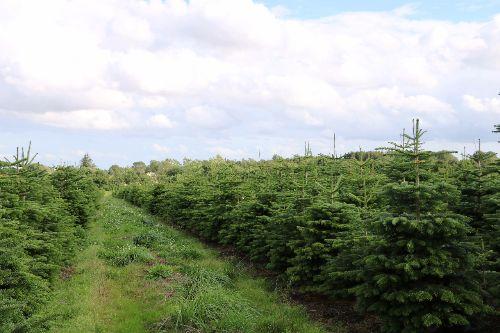 Kerstbomen Groothandel