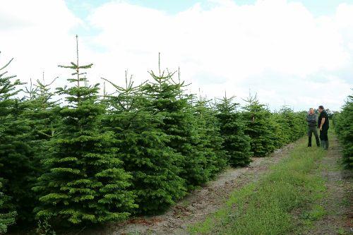 Kerstbomen inkopen bij een boomkwekerij